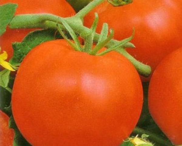 Mobil Tomaten Samen