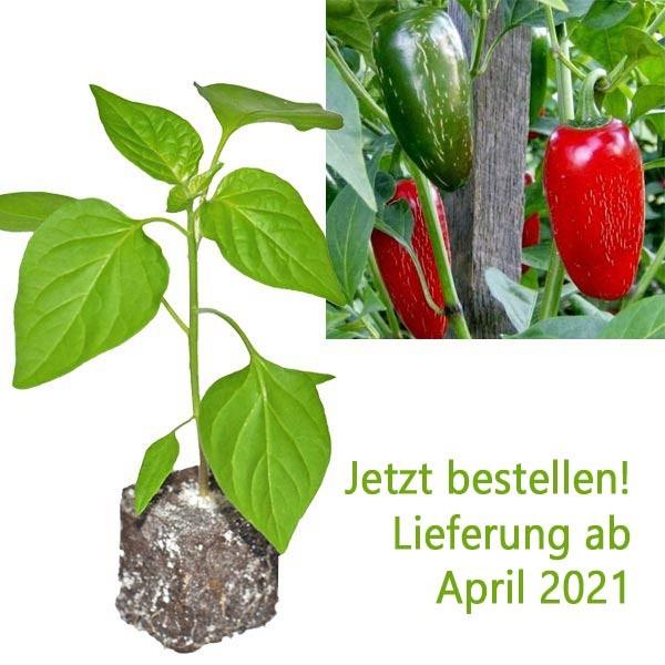 Bio Jalapeno Chili-Pflanze