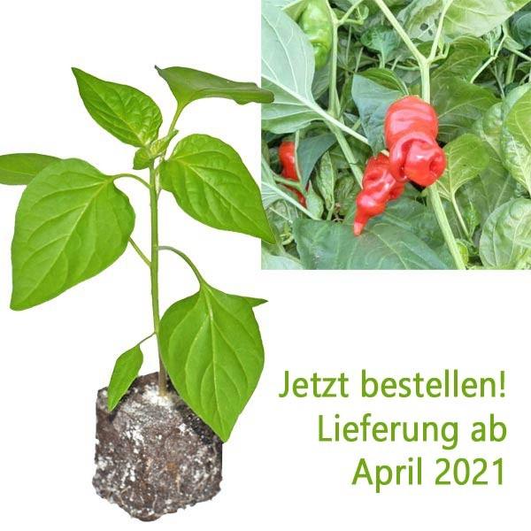 BIO Peter Pepper / Penis-Chili-Pflanze