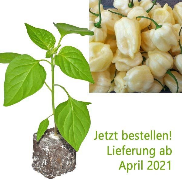 BIO Habanero Big White Chili-Pflanze