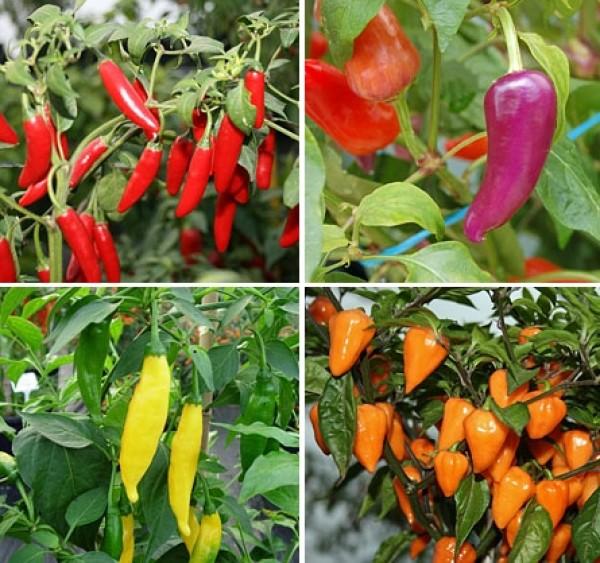Welche Chilisorten soll ich anbauen ?