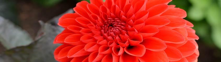 rote_Blumen