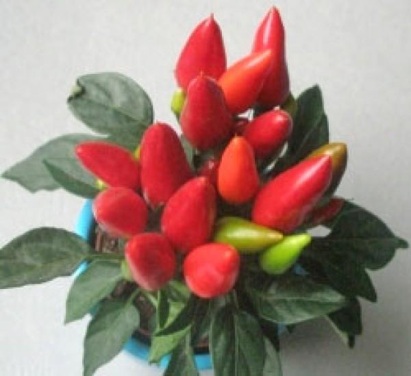Maya Flame Red Chili Samen
