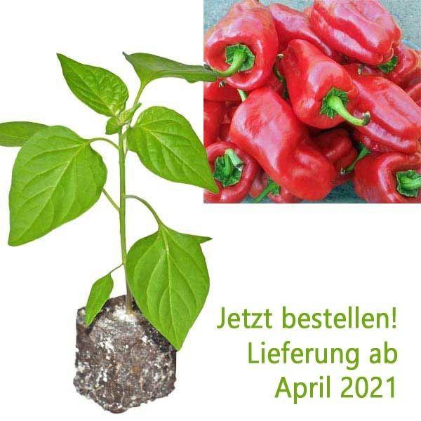 BIO Letschauer Schoten Pfeffer Chili-Pflanze
