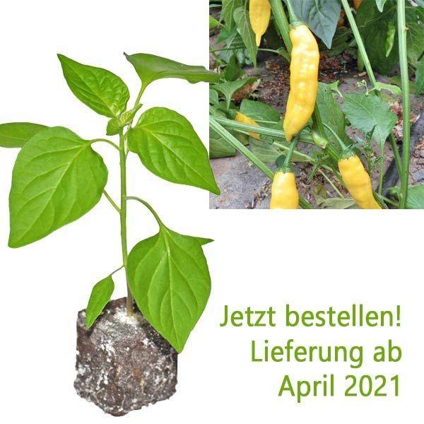 BIO Aji Pineapple Chili-Pflanze