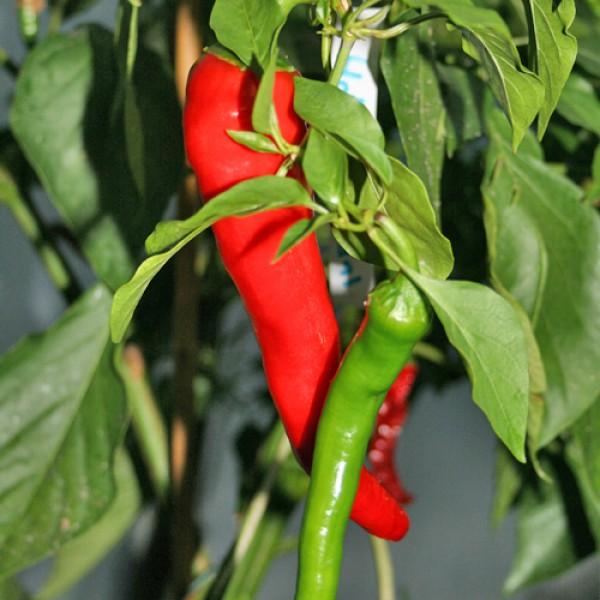 Hot Portugal Chili Samen