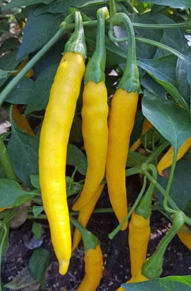 Dutch Yellow Chili Samen