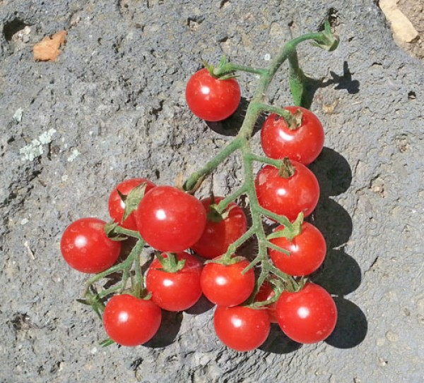 Ugina Tomaten Samen