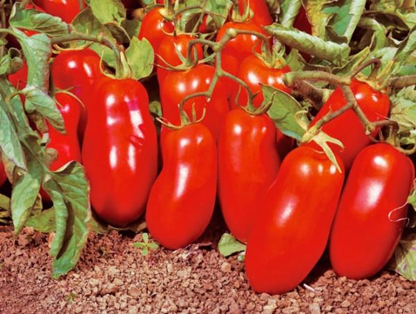San Marzano Nano Tomaten Samen
