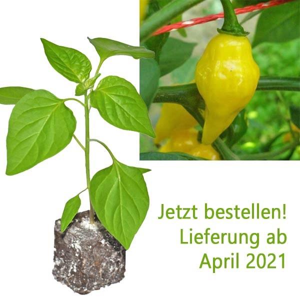 BIO Limon Chili-Pflanze