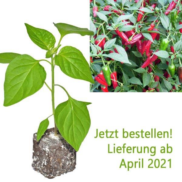 BIO Apache Chili-Pflanze
