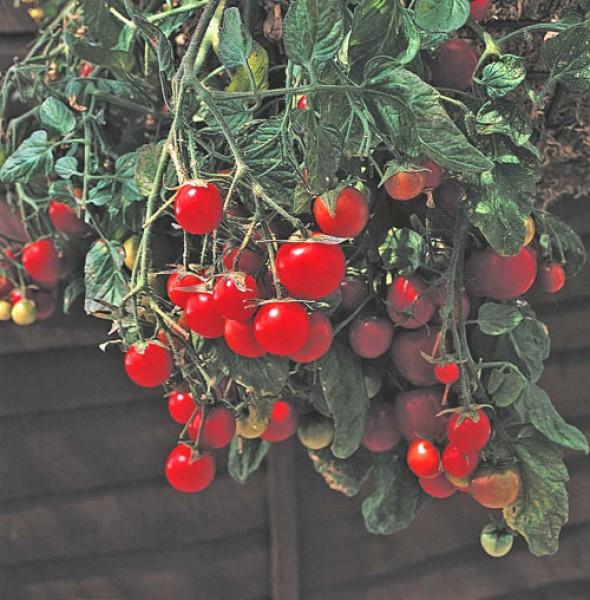 Gartenperle Tomaten Samen