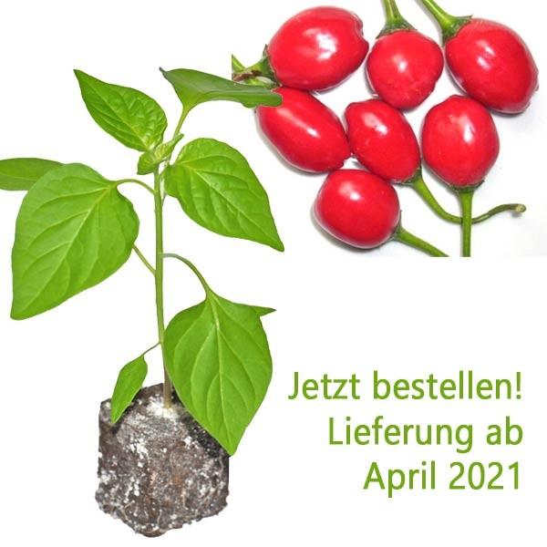 BIO Earbob Chili-Pflanze