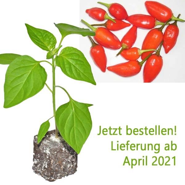 BIO Aji Benito Chili-Pflanze