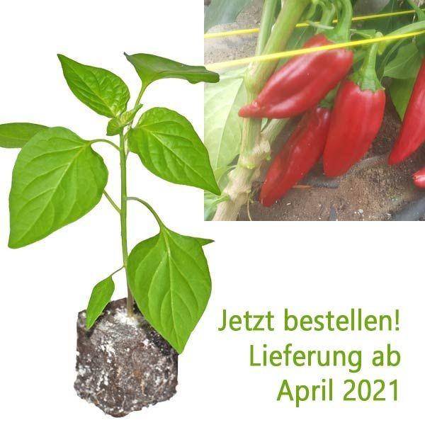 BIO Anaheim Chili-Pflanze