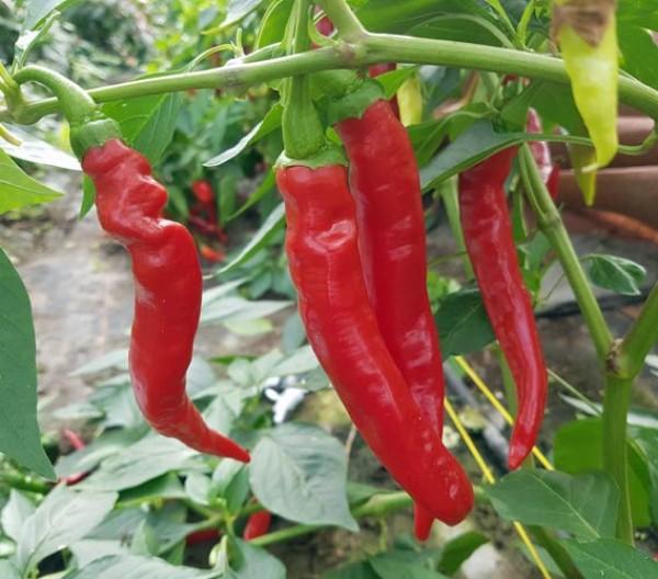 Aci Biber Chili Samen