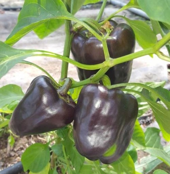 Purple Beauty Chili Samen