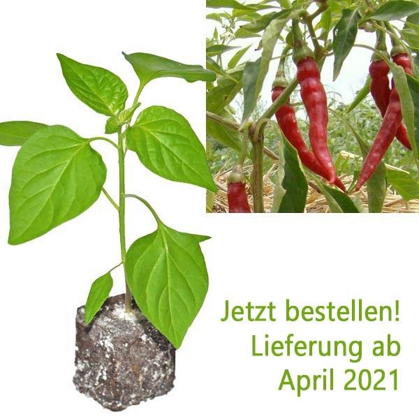 BIO Cayenne Chili-Pflanze