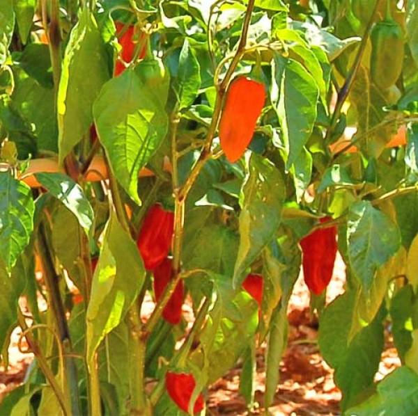 Naga Morich Red Chili Samen