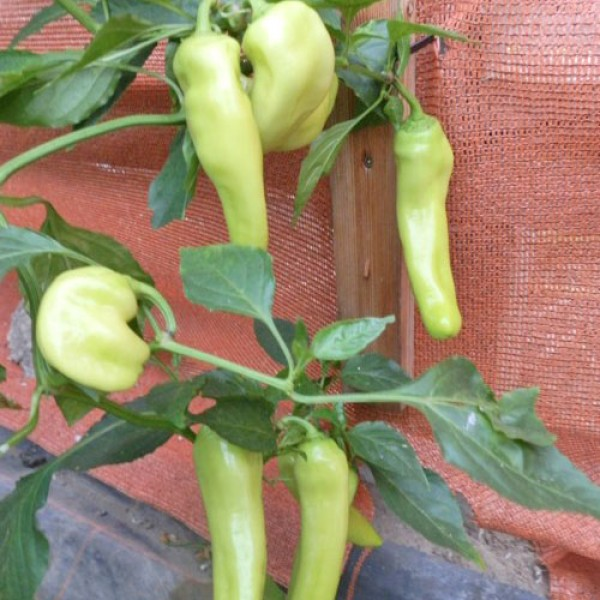 Hungarian Yellow Wax Sweet Chili Samen