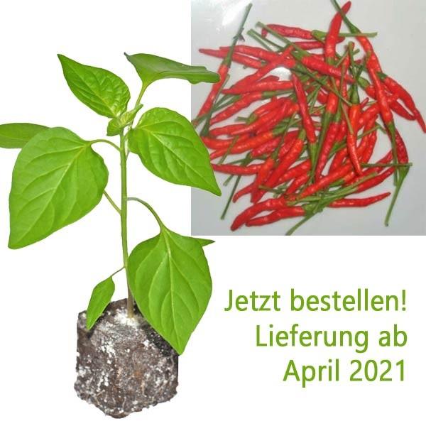 BIO Burning Bush Chili-Pflanze