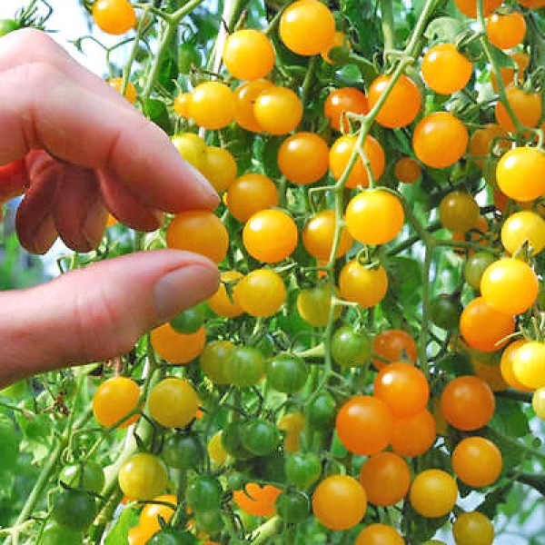 Currant Gold Rush Tomaten Samen