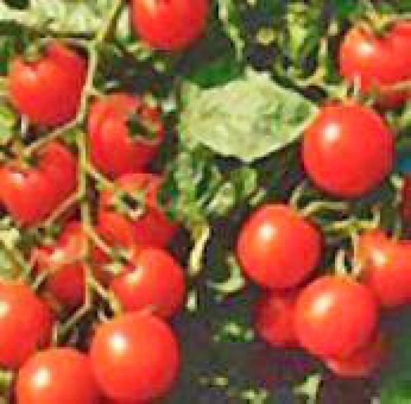 Small Red Cherry Tomaten Samen