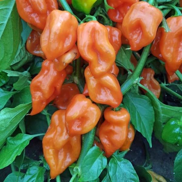 Habanero Mexican Orange Chili Samen