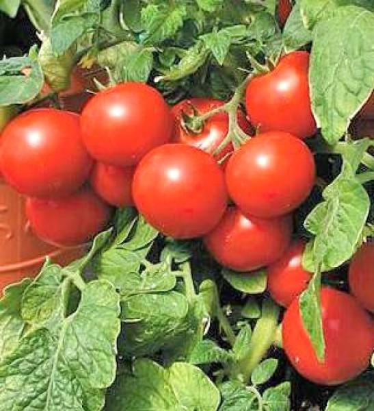 Large Cherry Tomaten Samen