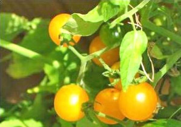 Gold Nugget Yellow Cherry Tomaten Samen