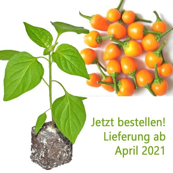 BIO Pis Bas Harari Chili-Pflanze