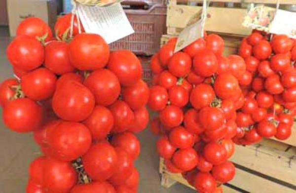 Regina Tomaten Samen
