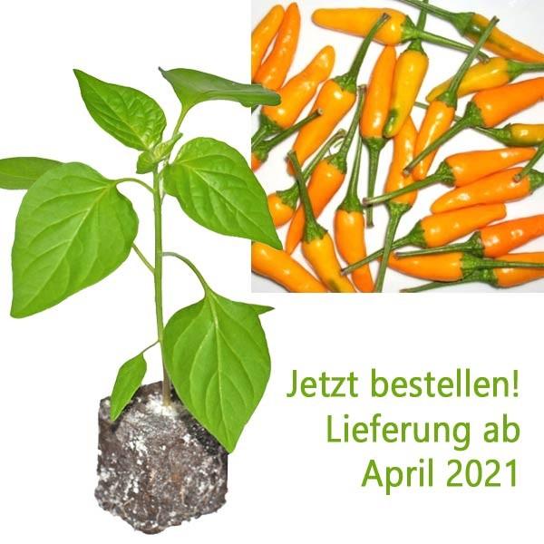 BIO Aji Little Finger Orange Chili-Pflanze