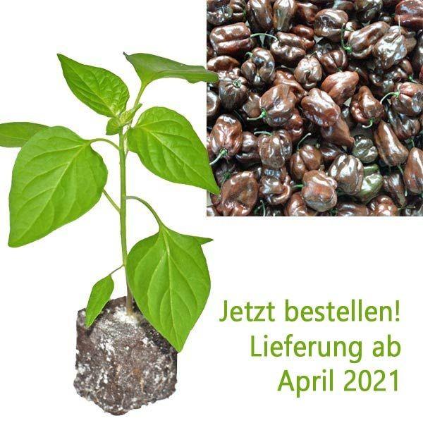 BIO Jamaican Hot Chocolate Chili-Pflanze