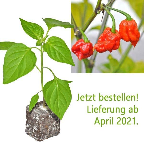BIO Carolina Reaper Chili-Pflanze