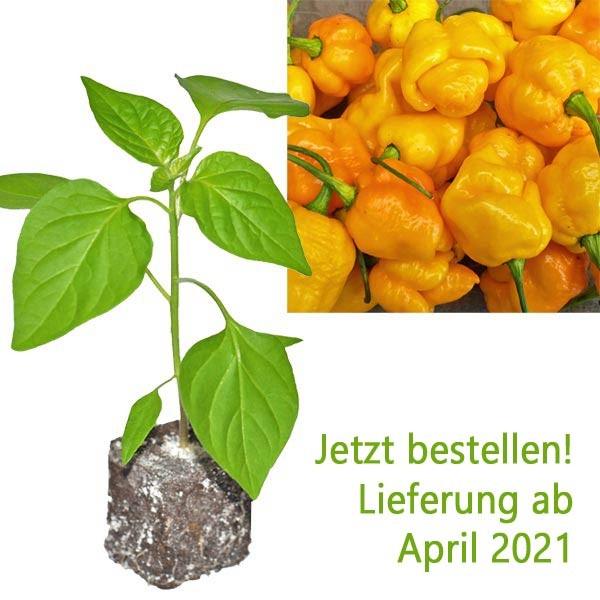 BIO 7 Pot Brainstrain Yellow Chili-Pflanze
