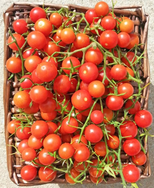 Drops Tomaten Samen