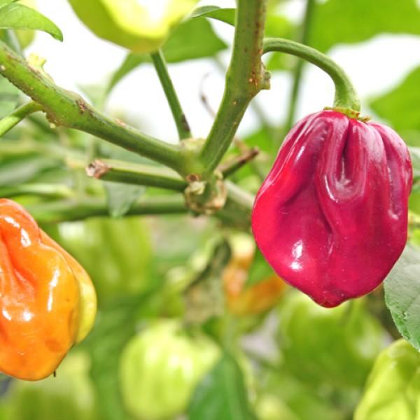 Habanero Purple Chili Samen