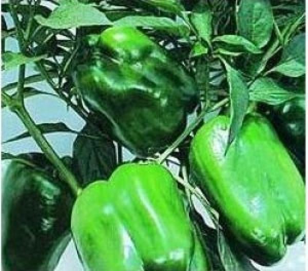 Keystone Resistant Giant Chili Samen