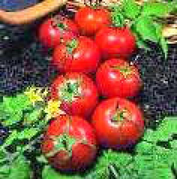 Harbinger Tomaten Samen
