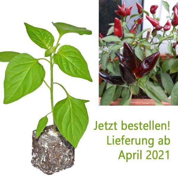 BIO Kiss of Salsa Chili-Pflanze