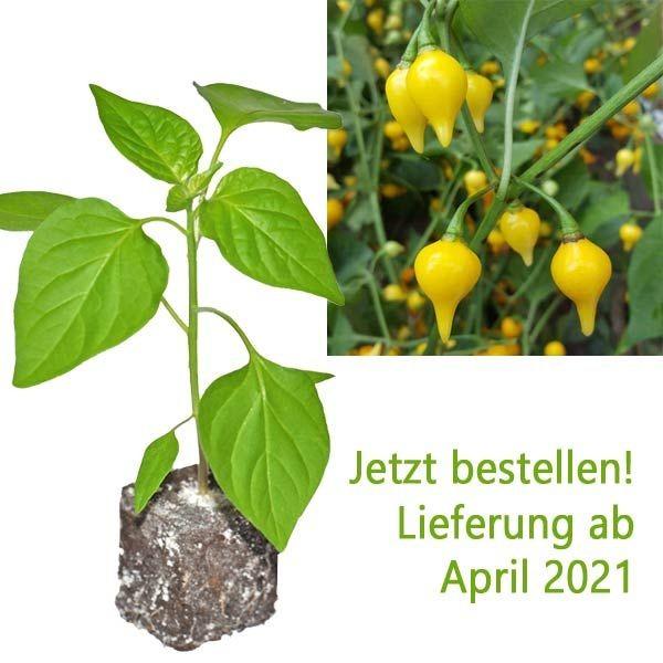 BIO Biquinho Amarelo Chili-Pflanze