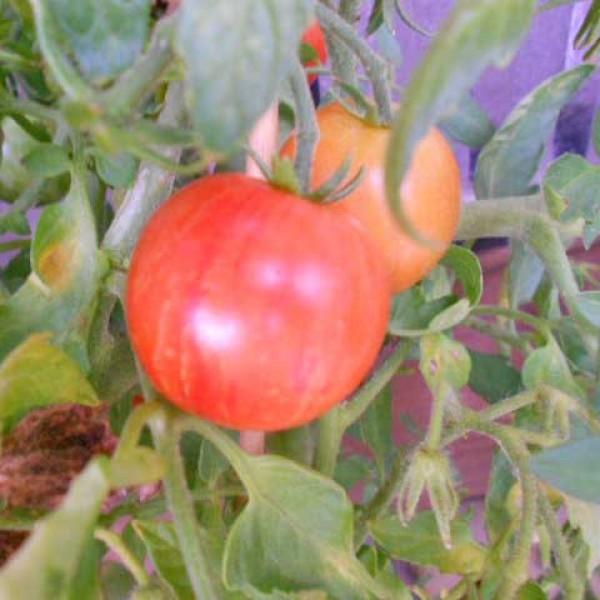 Tigerella Tomaten Samen