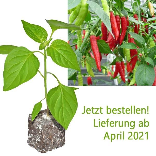BIO Birgits Locoto Chili-Pflanze