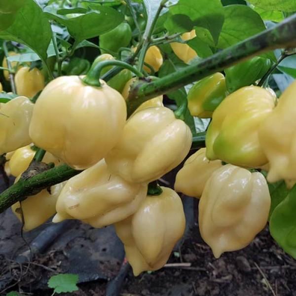 7 Pot White Chili Samen