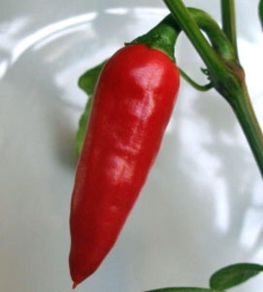 Kashmiri Mirch Chili Samen