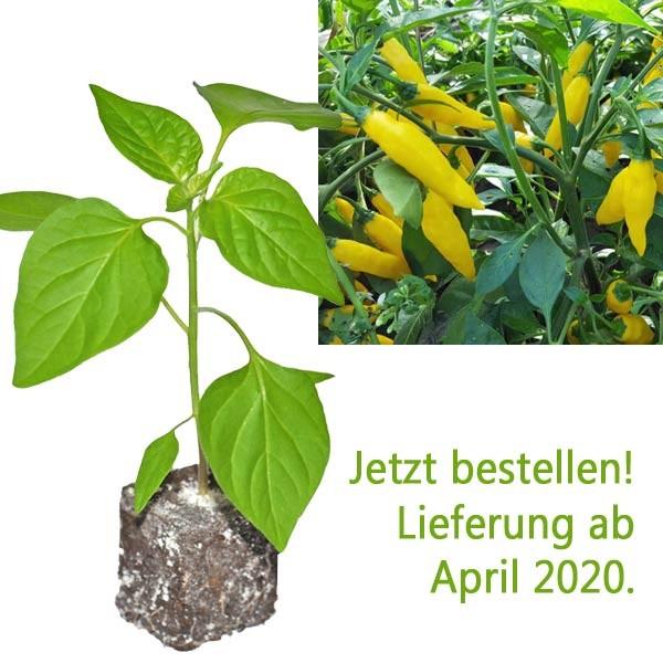 BIO Aji Mochero Chili-Pflanze
