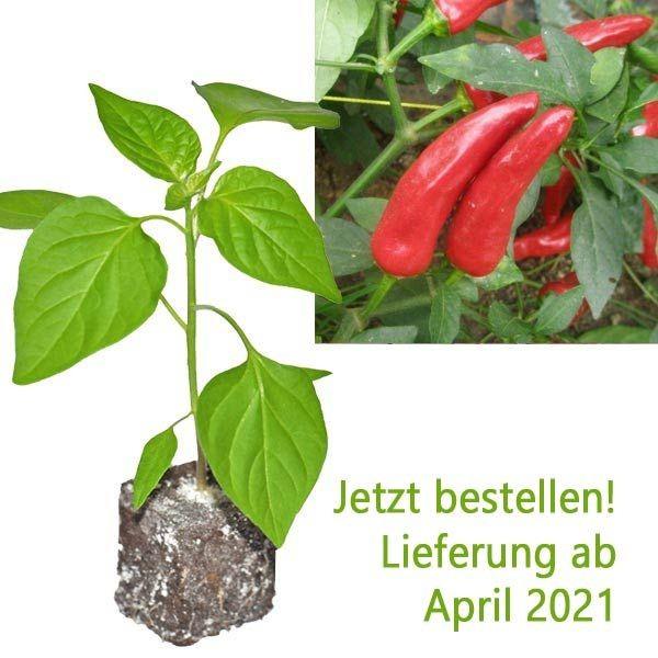BIO Facing Heaven Red Chili-Pflanze
