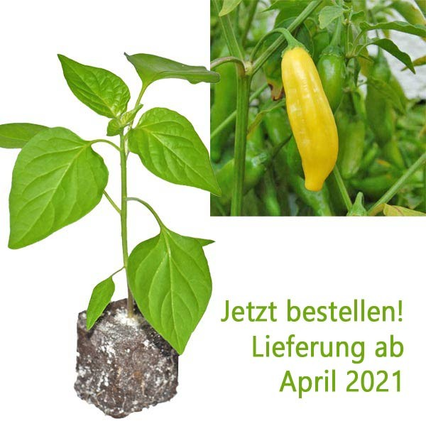 BIO Lemon Drop Chili-Pflanze