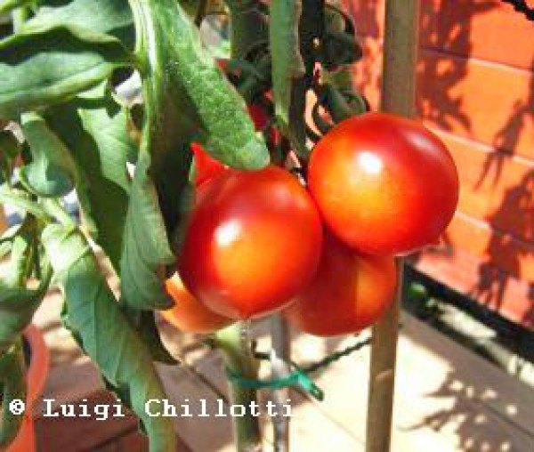 Principe Borghese Tomaten Samen
